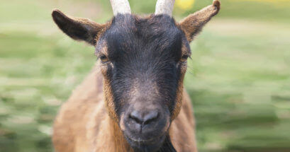 Goat staring into the camera