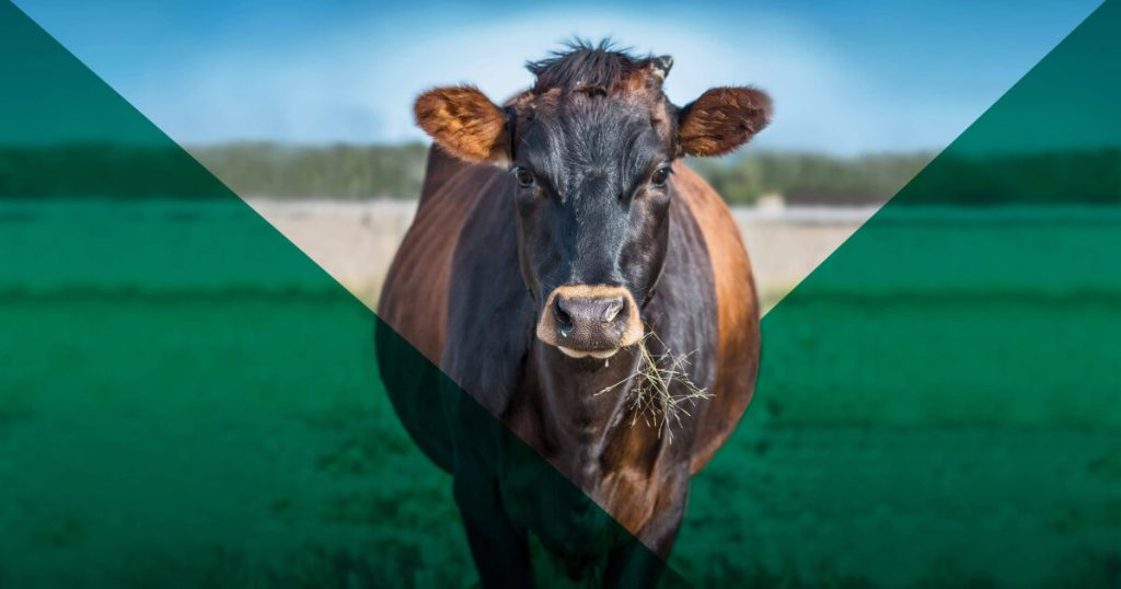 A brown cow with grass in its mouth faces the camera.